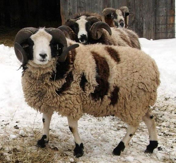 Jacob Sheep Barking Rock Farm