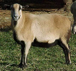Barbados Blackbelly Hair Sheep