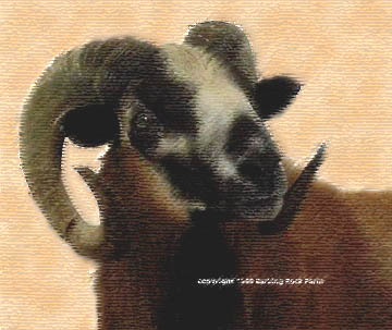Barbados Blackbelly Hair Sheep f8d62da0e
